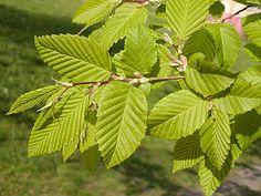 American Hornbeam (Carpinus caroliniana), NJ native plants