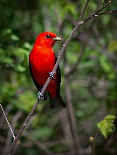 Scarlet-Tanager.jpg (800×1067)