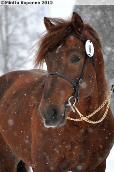 Finnhorse in the snow Beautiful Horses, Animals Beautiful, Horses In Snow, Draft Horses, Horse Photography, Horse Breeds, Australian Shepherd, Stars And Moon, Beautiful Creatures