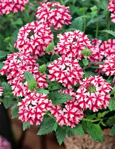 tarhaverbena - Verbena x hybrida Annual Plants, Fresh Flowers, Beautiful Flowers, Verbena, Peach, Nature, Candy Canes, Gardening, Beauty
