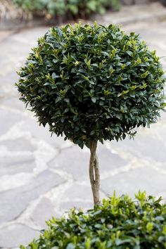 Buxusgarden - topiary
