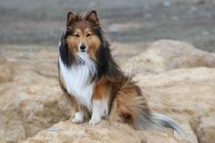 https://flic.kr/p/QhMLFP | Jordie | Jordie is my first ever Sheltie and at the time of posting he is four years old.  He is a typical Sheltie - intelligent, mischievous, loyal and affectionate.