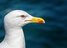 beak,bird,close,closeup,eye,gull,head,macro,scavenger,seagull,wildlife