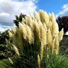 Semillas De Cortaderia Selloana Hierba Pampas planta ornamental jardín de flores Bonsai Raro   eBay