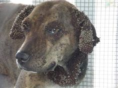 This dog dropped off at a shelter in the middle of the night, died of complications of a tick infestation. The bastards were too cheap to buy a collar