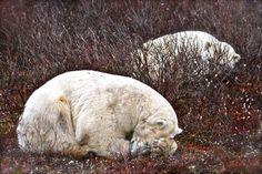 Polar Bear Nap, Churchill. For more, visit GreenGlobalTravel.com!