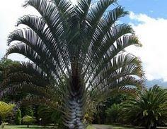 Triângular - Palmeiras Plantas - Mudas, Árvores, Frutíferas, Ornamentais, Palmeiras