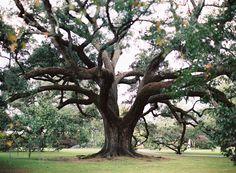 gigantic oak tree in New Orleans