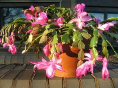 For best bloom later this winter, Christmas cactus, potted azaleas and kalanchoe may be left outdoors until night temperatures drop to about 40 degrees Fahrenheit.