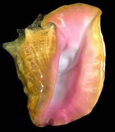 Creating Cultured Pearls From The Queen Conch: Scientists Unlock Mystery