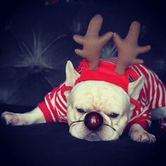 """Ho, Ho, Hooooooo...no"", French Bulldog in Reindeer Antlers, not quite ready for Christmas."