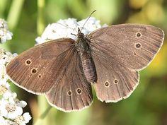 """Auch das ist ein """"Schornsteinfeger""""! / In German that butterfly is called """"Chimney sweep"""", too!    Bildquelle / Photo Credits: ag-burgwald.de"""