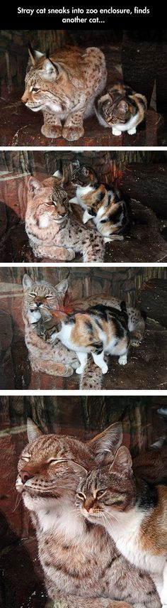 Stray Cat Sneaks Into Zoo Enclosure And Finds Another Cat funny lol humor adorable animals funny pictures funny photos funny images cute animal pictures hilarious pictures Animals And Pets, Funny Animals, Cute Animals, Zoo Animals, Wild Animals, Fruit Animals, Funniest Animals, Animals Images, Cute Kittens