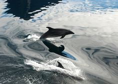 Bottlenose Dolphins are a regular sight on a Discovery Expedition New Zealand Wildlife, Bottlenose Dolphin, Marine Environment, Sea Creatures, Dolphins, Habitats, Wander, Discovery, Whale