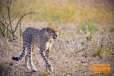 Cheetah Hunting - South Africa