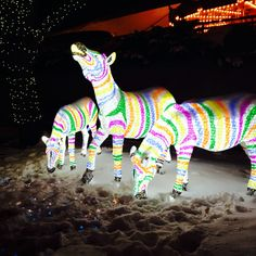 Brookfield zoo Christmas 2014 Chicago Attractions, Brookfield Zoo, Chicago Area, Christmas 2014, Aquariums, Zebras, Black Stripes, Giraffe, Dinosaur Stuffed Animal