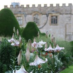 You could probably navigate your way around the garden in June by smell alone - a heady fragrance of lilies, roses and sweetpeas. Astrantia too, but in a different way. Astrantia, White Lilies, Fragrance, June, Roses, Lily, England, Garden, Plants