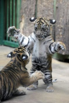 Tiger cubs testing their skills.