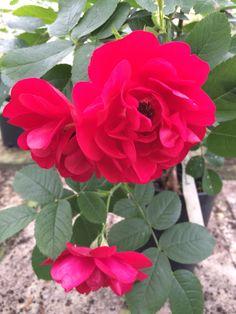 Hansaland ros