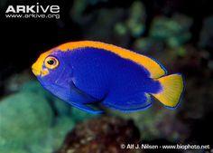 Angelfish species | Resplendent pygmy angelfish (Centropyge resplendens)