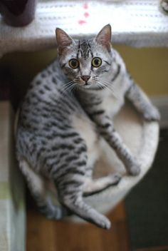 Egyptian Mau  One of a couple of cats that I would love to have in my lifetime.