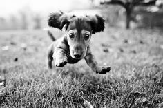 I love watching Oscar run.  Those floppy ears and short legs just make for cuteness.