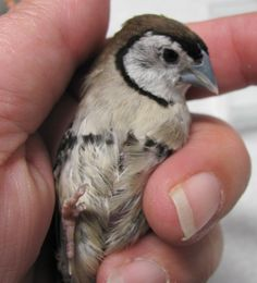 Owl Finch (Bicheno) juvenile still working on his juvenile molt. They often look very messy at this age.