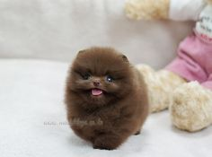 pomeranian puppies - Google-haku