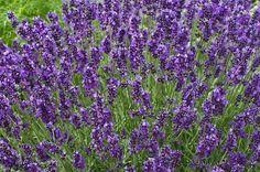 A Lavanda Inglesa e uma herbácea, pertence à família Lamiaceae, nativa do Mediterrâneo, perene, ereta, aromática, lenhosa na base, densamente ramificada ....