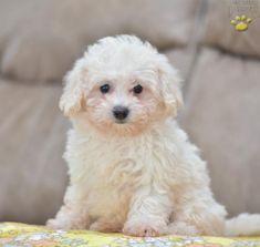 34 Best Havapoo images in 2018 | Dogs, Puppies, Havanese