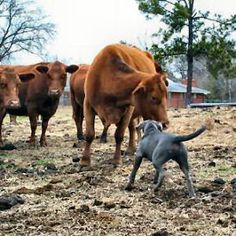blue lacy dog photo | Texas State Dog Breed, Blue Lacy, from NETSTATE.COM WILL HERD ANYTHING FROM CATTLE TO CHICKEN