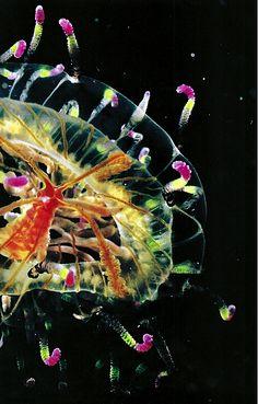 Olindias formosa Jellyfish- National Geographic April 1984