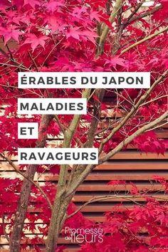 Rables du japon attention la verticilliose les erables erable du japon et les racines - Maladie erable du japon ...