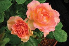 Morden Sunrise Rose - Rosa 'Morden Sunrise' - Creamy yellow-peach buds. Fragrant flowers with wavy petals and orange stamens. Dark green foliage, improved resistance to blackspot.  Cold hardy to zone 3  Mature height x width: 3′ x 3′ Blooms summer