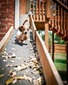 20 ft ramp from deck to yard.  Yes I love my doxie, meet Stringbean a red and white piebald dachshund.