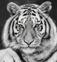 Traditional drawing of a tiger (Panthera tigris). It's mainly a black and white drawing (not a white tiger! Black and White Tiger (drawing) Tiger Sketch, Tiger Drawing, Tiger Art, Pet Tiger, Colorful Drawings, Easy Drawings, Chat Lion, Lion Tigre, Tiger Pictures