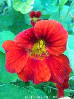 Nasturtium in red, www.purplepottingshed.com