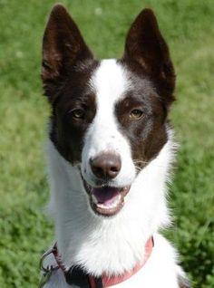 Ziva - Border Collie/Husky mix - 2 yrs old - Female - Stafford Animal Shelter -Livingston, MT. - http://staffordanimalshelter.org/ - https://www.facebook.com/TheStaffordAnimalShelter - - http://www.petango.com/Adopt/Dog-Alaskan-Husky-23773012 - https://www.petfinder.com/petdetail/30750555/