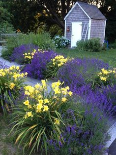 Growing Lavender in Your Garden I love the purple and yellow together.