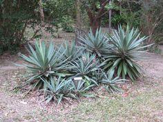 Larrea Tridentata Creosote Bush Smells Like The Desert