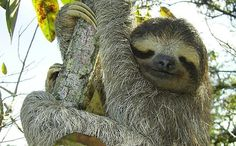 How Did Dallas Aquarium Almost Get Away With Taking 8 Endangered Pygmy Sloths from Panama?
