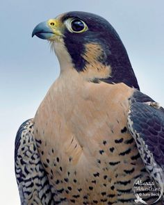 Pride - An adult Peregrine Falcon perches proud - Mont Tremblant, Quebec Pretty Birds, Beautiful Birds, Funny Animals, Cute Animals, Peregrine Falcon, Owl Bird, Small Birds, Birds Of Prey, Outdoor Art