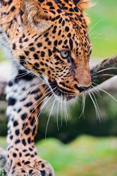 Leopard walking down the log byTambako The Jaguar