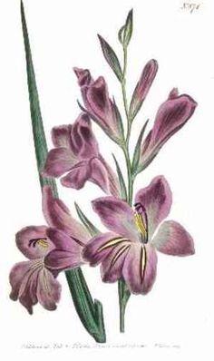 1000 images about tattoo designs on pinterest gladioli gladiolus flower tattoos and august. Black Bedroom Furniture Sets. Home Design Ideas