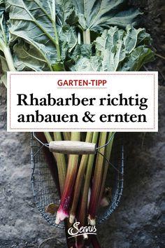 Rhabarber ist das erste frische Gemüse des Frühlings. So pflegt man die Pflanze richtig, um viele Jahre etwas von ihr zu haben. Rhubarb Plants, Compost, Farmhouse Garden, Harvest