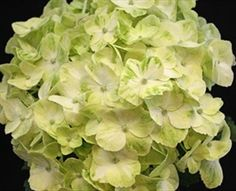 Mojito - Hydrangea - Fleurs - Fleurs par catégorie   Sierra Flower Finder