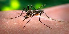 Πείραμα απελευθέρωσης μεταλλαγμένων κουνουπιών στη Φλόριντα