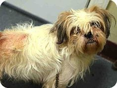 Brooklyn, NY - Shih Tzu Mix. Meet DAFFY, a dog for adoption. http://www.adoptapet.com/pet/12193912-brooklyn-new-york-shih-tzu-mix