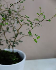 Sophora Little Baby - Zahrada na niti