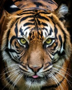 "llbwwb: ""(via / Tiger, Prague ZOO by Pavel Gröschl) "" Beautiful Cats, Animals Beautiful, Big Cats, Cute Cats, Prague Zoo, Regard Animal, Animals And Pets, Cute Animals, Wild Animals"